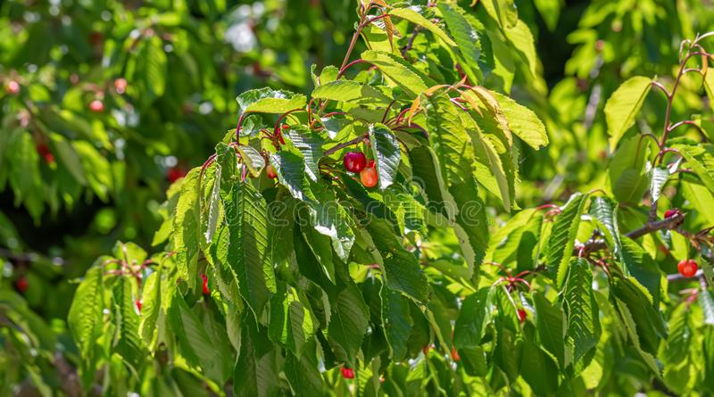 Sweet cherry ripens on a green tree in a summer. Fruits on the branch of sweet cherry in the garden. Nature blurred background. stock images