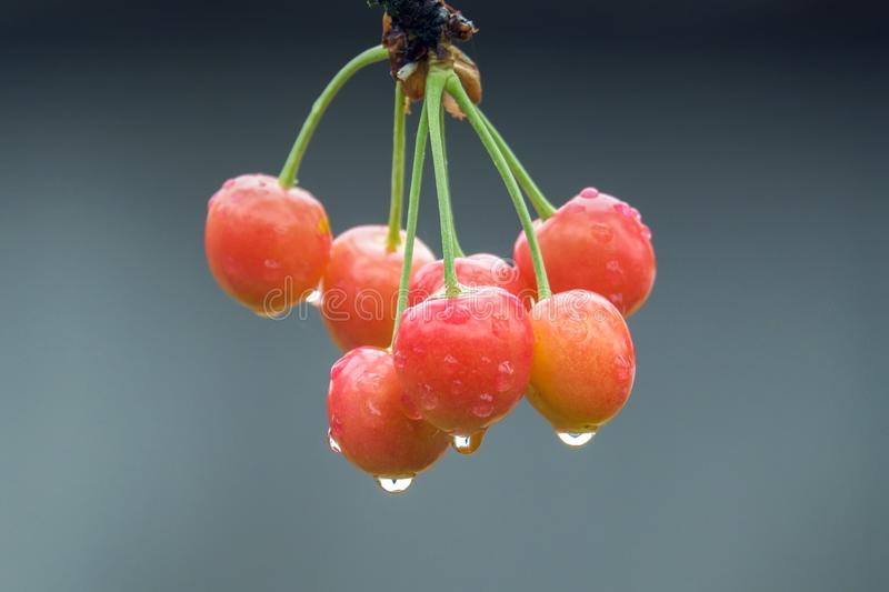 Sweet cherry on tree with water drops stock image
