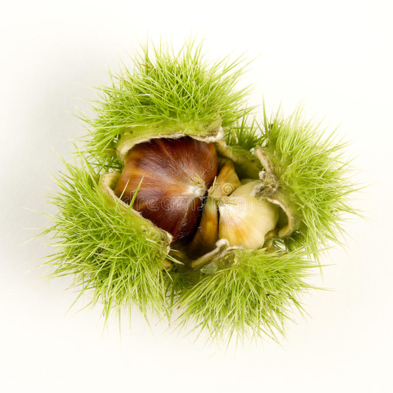 Download Sweet chestnut stock image. Image of fruits, fall, thistly - 13956577
