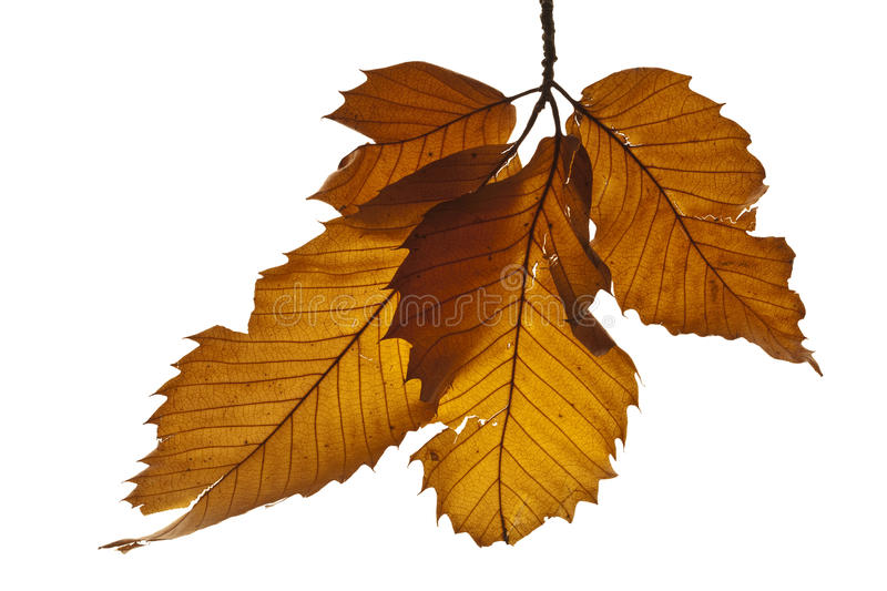 Sweet chestnut leaves isolated on white. Studio shot of an attractively composed collection of dead sweet chestnut trees isolated on white stock image