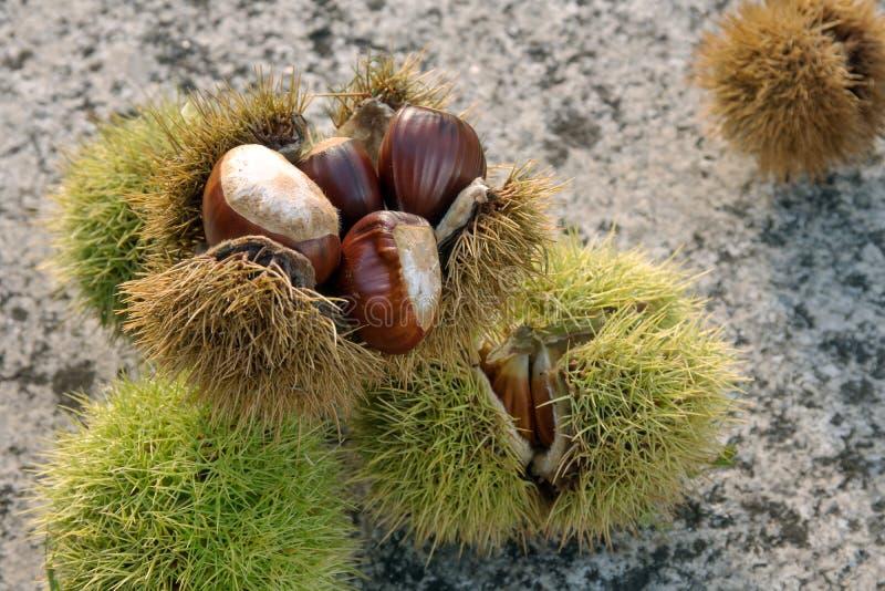 Sweet Chestnut still life. Castanea sativa royalty free stock images