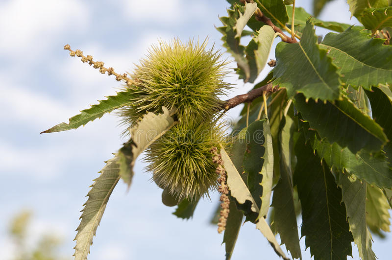 Sweet chestnut tree. Leaves and fruits of Sweet chestnut tree (Castanea sativa). Originally native to southeastern Europe and Asia Minor, it is now widely stock image