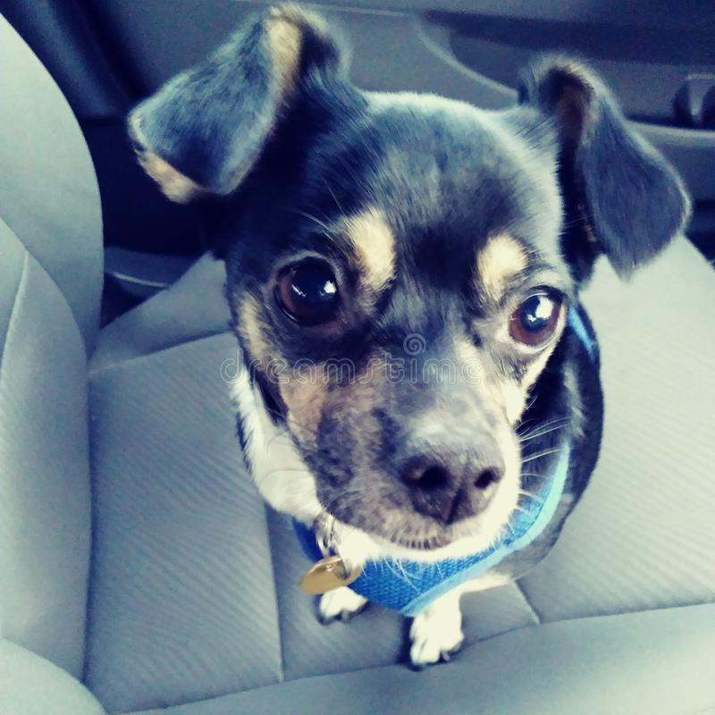 Chihuahua dog puppy cute adorable riding in a car big eyes floppy ears black tan and white adorable stock image