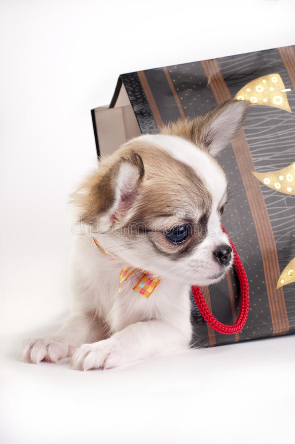Download Sweet Chihuahua Puppy In The Gift Bag Stock Image - Image: 14581221