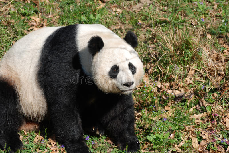 Sweet Chinese Panda Bear Sitting Down in Grass. Sweet black and white Chinese panda bear sitting down royalty free stock images