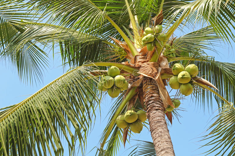 Sweet coconut palm tree with many young fruit on blue sky. Closeup of sweet coconut palm tree with many young fruit on blue sky royalty free stock photography