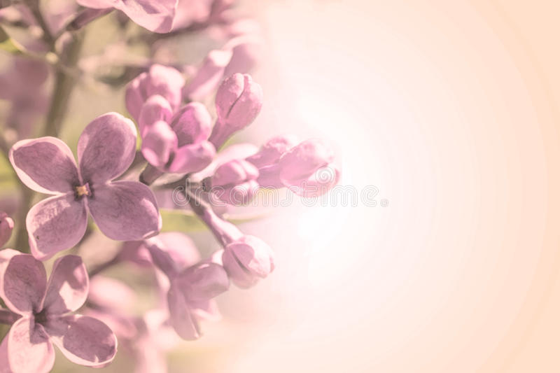 Sweet color petal branch with spring rose lilac flowers on pink gradient background stock photo