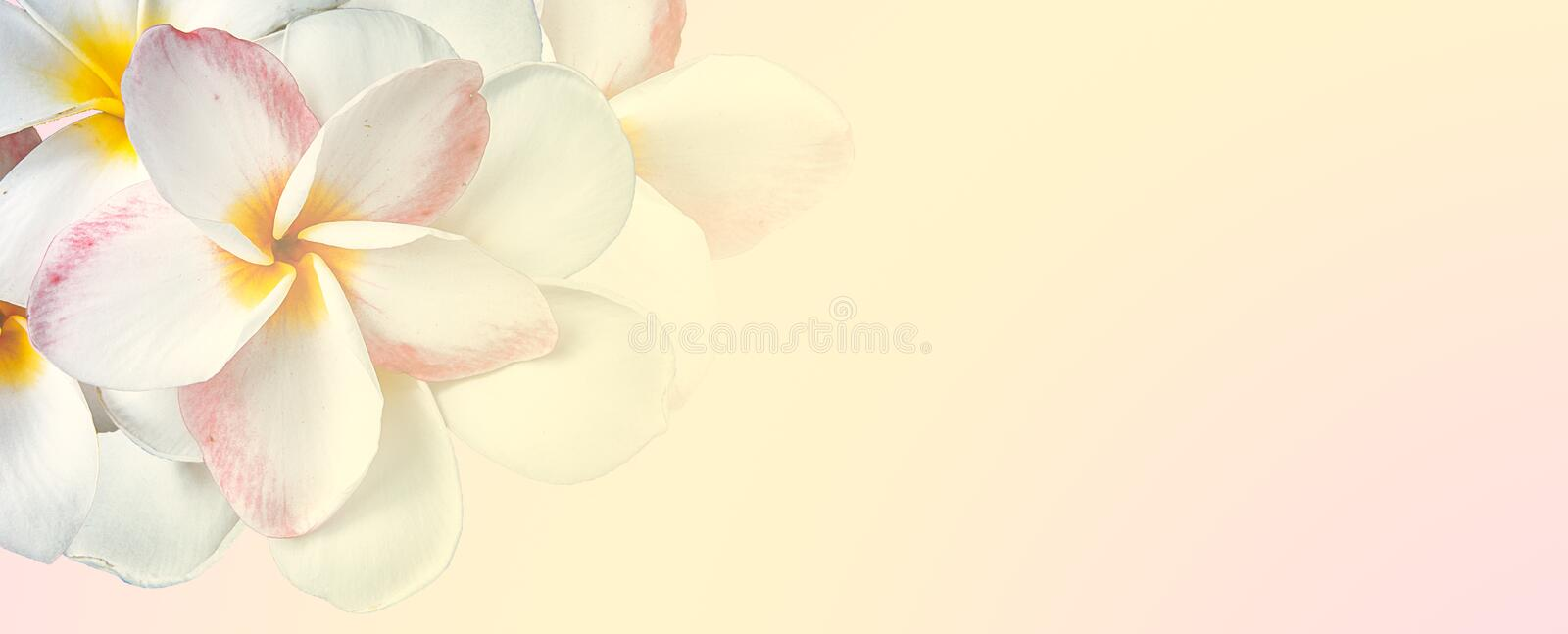 Sweet color plumeria in soft and blur style on mulberry paper texture for background stock photos