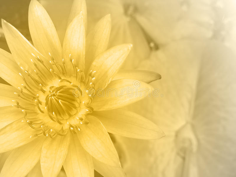Sweet Color Water Lily stock photos