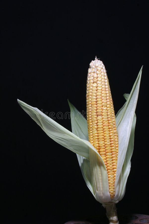 Download Sweet  corn stock image. Image of foods, vegetal, texture - 1600829