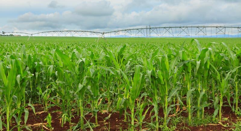Sweet Corn Crop In Australia Stock Photo Image Of