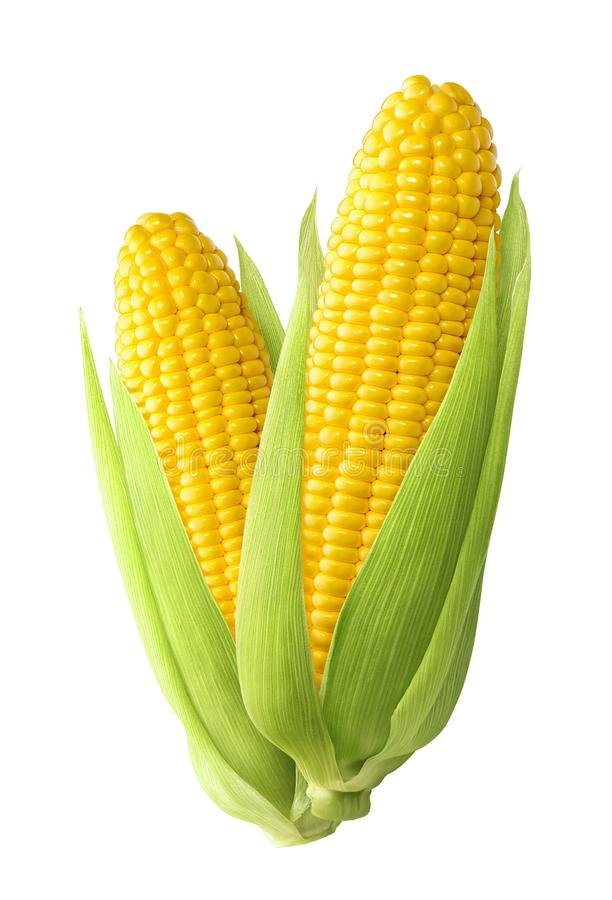 Sweet corn ears isolated on white background stock photos