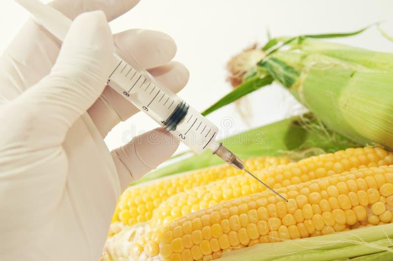 Sweet corn, genetic engineering stock photos