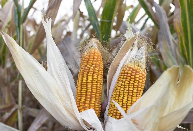 Sweet corn grown in Indian agriculture field royalty free stock images
