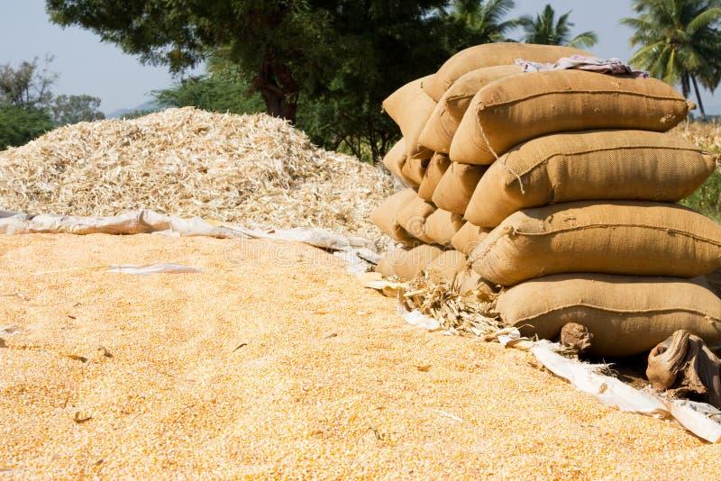 Download Sweet corn  harvesting stock photo. Image of nature, sack - 7102154