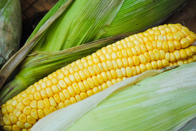 Sweet corn used for cooking and baking. royalty free stock photography