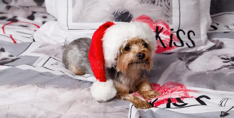 Sweet, cute dog breed yorkshire terrier lies on the bed. In a Santa Claus hat royalty free stock images