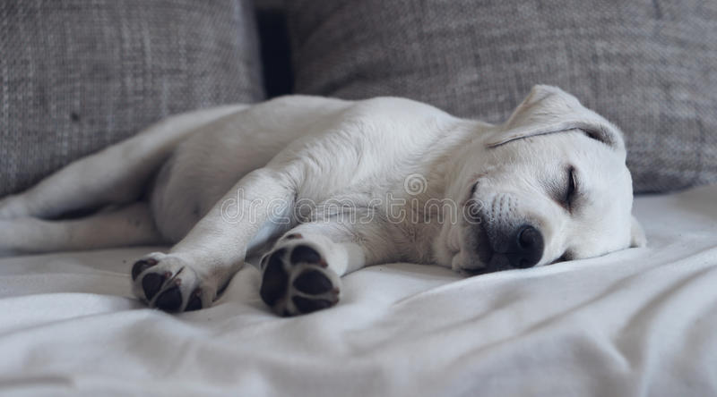 Sweet cute Labrador puppy dog sleeping on the couch in his bed stock images