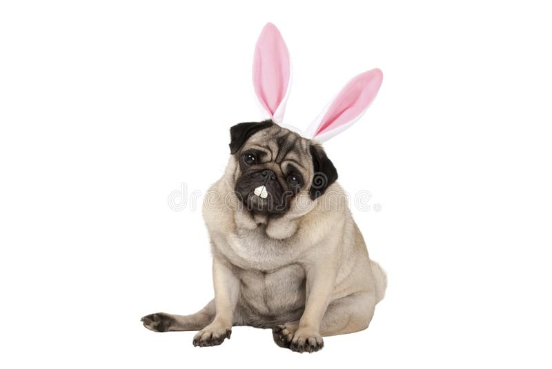 Sweet cute pug puppy dog sitting down with easter bunny ears and teeth. Isolated on white background royalty free stock photo