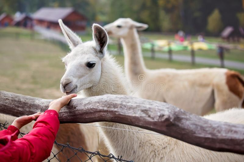 Sweet cute toddler child, feeding lama on a kids farm royalty free stock photos