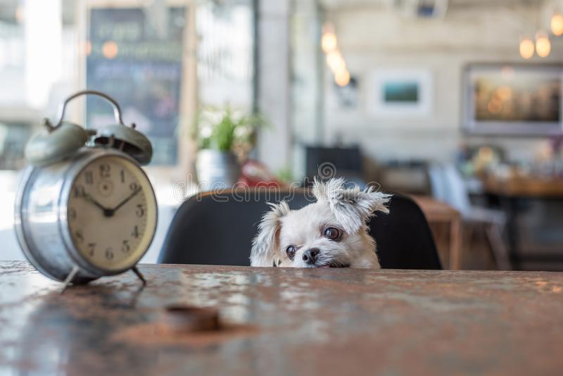 Sweet dog look something in coffee shop with clock stock photo