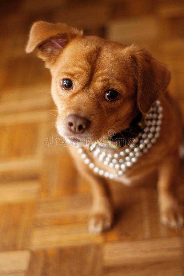 Sweet dog. Small sweet dog with pearl necklace royalty free stock images