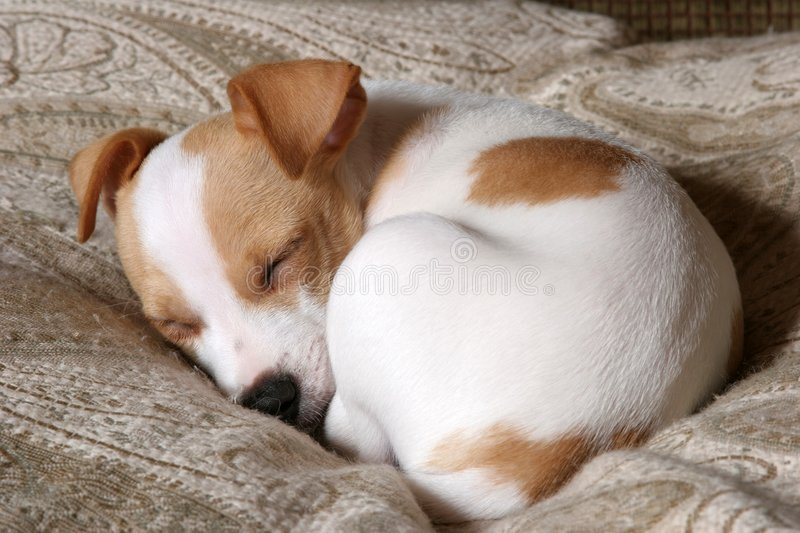 Sweet Dreams. Buster the puppy fast asleep on his bed royalty free stock image