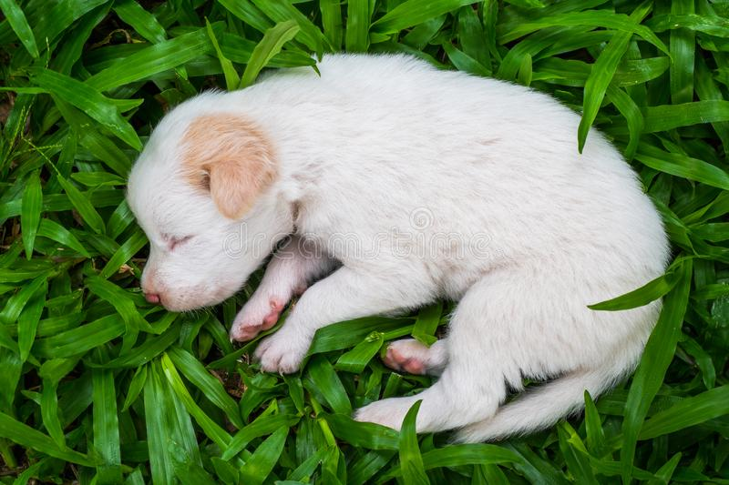 Sweet dreams cute puppy. Cute puppy sleeps sweet dreams on the grass in the garden on a nice day in thailand stock images