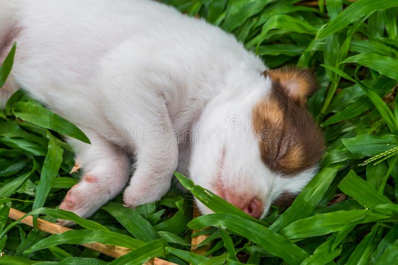 Sweet dreams cute puppy on the grass. Cute puppy sleeps sweet dreams on the grass in the garden on a nice day in thailand royalty free stock photo
