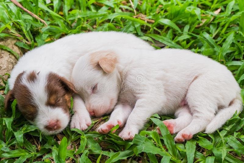 Sweet dreams cute puppy on the grass. Cute puppy sleeps sweet dreams on the grass in the garden on a nice day in thailand stock images