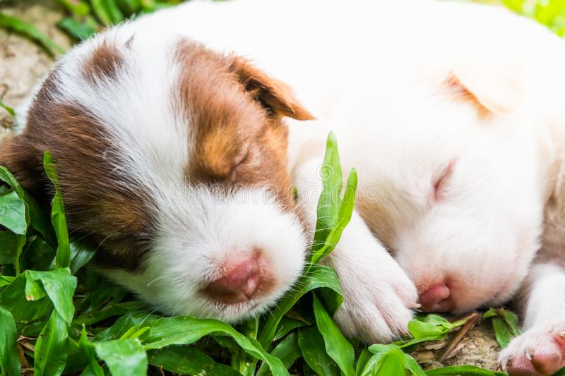 Sweet dreams cute puppy on the grass. Cute puppy sleeps sweet dreams on the grass in the garden on a nice day in thailand royalty free stock images