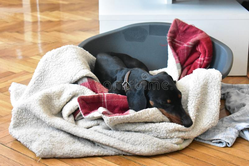 Sweet dreams are made of dachshund stock photo