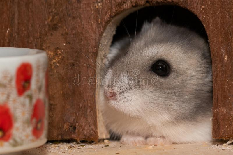 Sweet dwarf hamster looks out of hiding place stock image