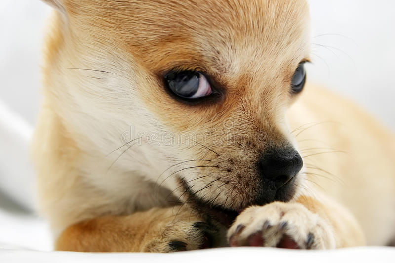 Download Sweet golden Chihuahua pup stock photo. Image of purebred - 17344374