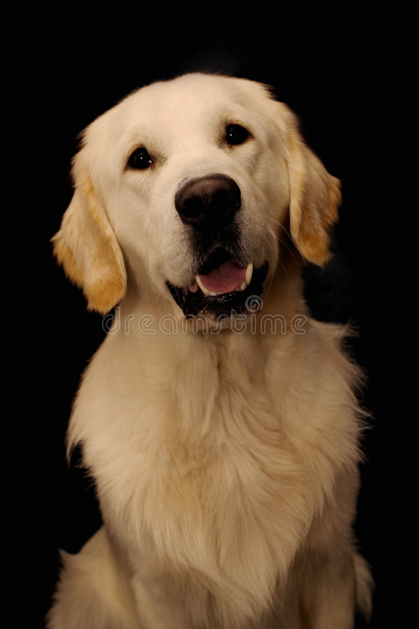 Sweet golden retriever stock photo