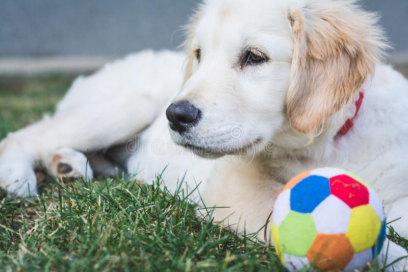 Sweet golden retriever puppy rest near a colorful ball royalty free stock photography