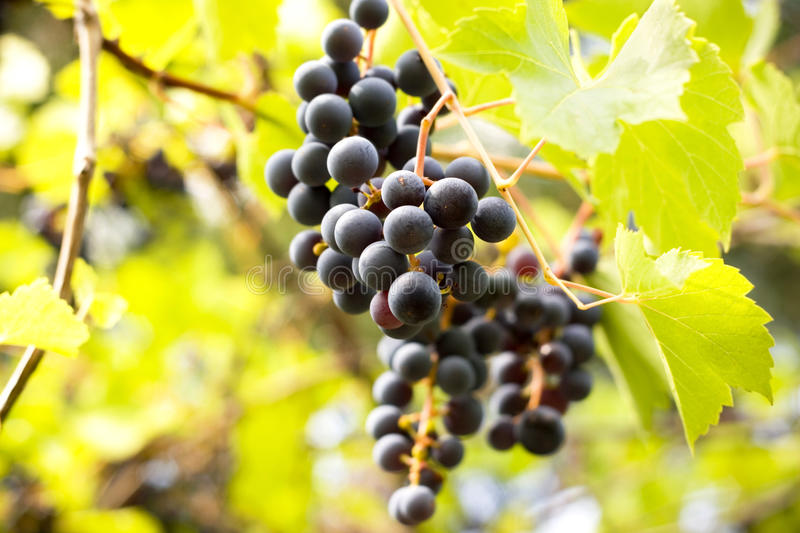 Download Sweet grapes stock image. Image of bunch, grapevine, grapes - 26228113
