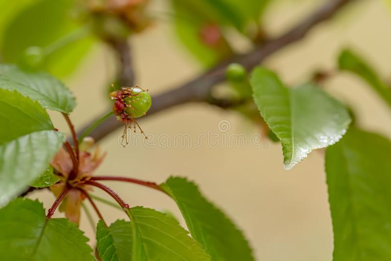 Sweet green cherry ripens on a green tree in summertime. Fruit on a branch of sweet cherry in a garden. Shallow depth of field. stock image