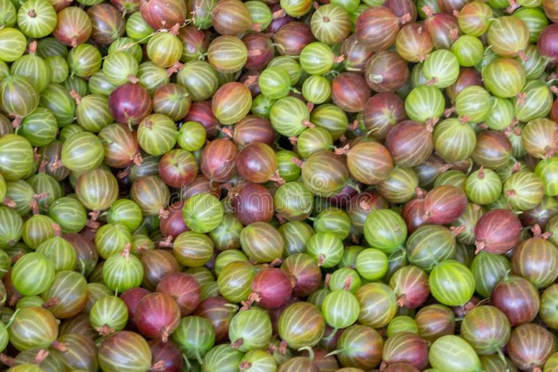 Sweet green and red gooseberries closeup background. Ripe summer berries harvest. Fresh vitamin concept. Gooseberry backdrop. Vegetarian food royalty free stock photos
