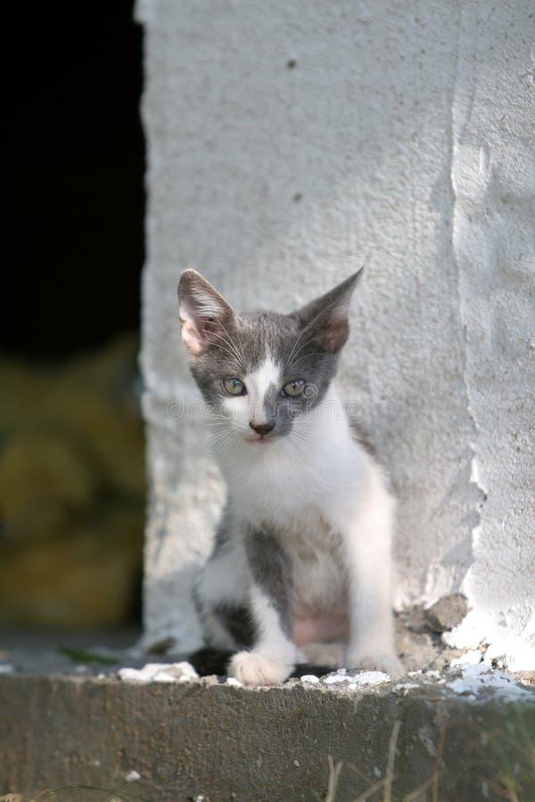 Sweet grey and white kitten stock image