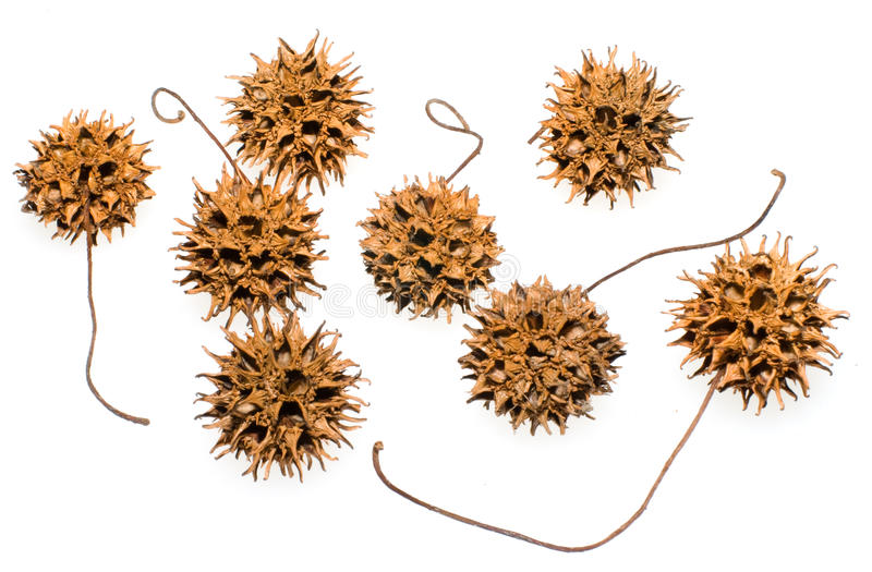 Sweet Gum Seed Pods royalty free stock photography