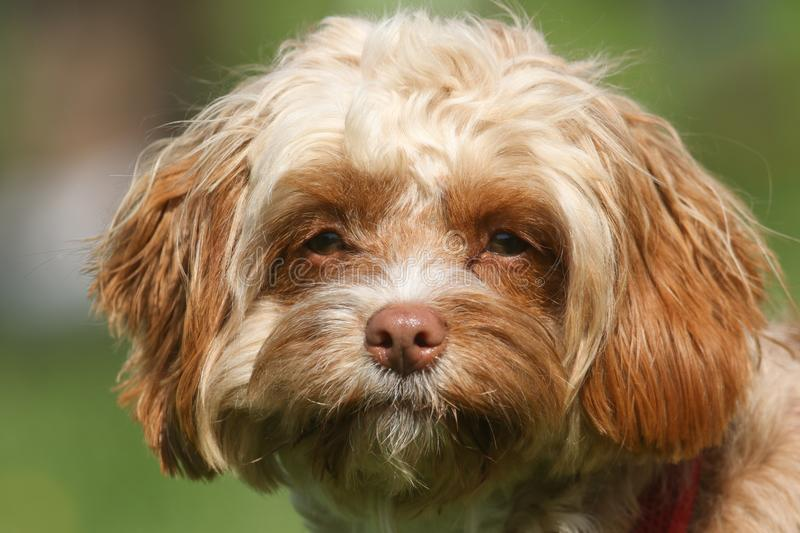 A cute head shot of a young Cavapoo dog. The breed is also commonly known by the names Poodle x King Charles Cavalier Spaniel, Cav. A sweet head shot of a young stock photo