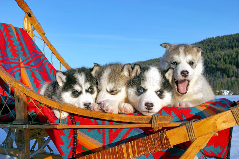 Sweet Husky puppies. Siberian Husky, four puppies together in sleigh, on sunny winter day, blue sky , trees in background royalty free stock photography