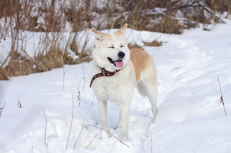 A sweet Japanese Akita Inu dog with closed eyes and sticking out tongue is in the woods in winter among snow and dry grass. royalty free stock photography