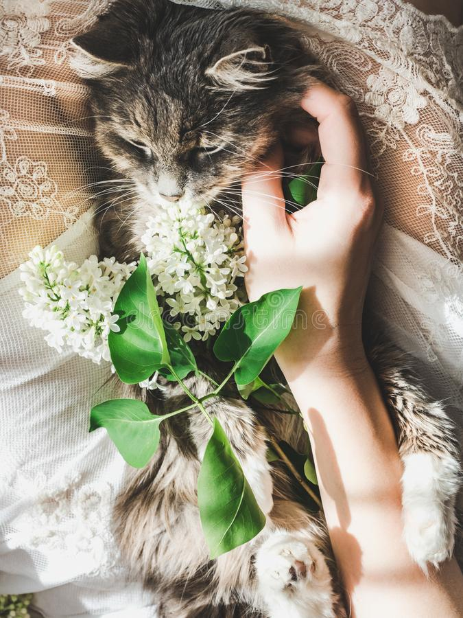 Sweet kitten and beautiful sprig of lilac. Sweet, lovable kitten, beautiful sprig of lilac, female legs and white lace dress. Top view, close-up. Care for Pets royalty free stock images