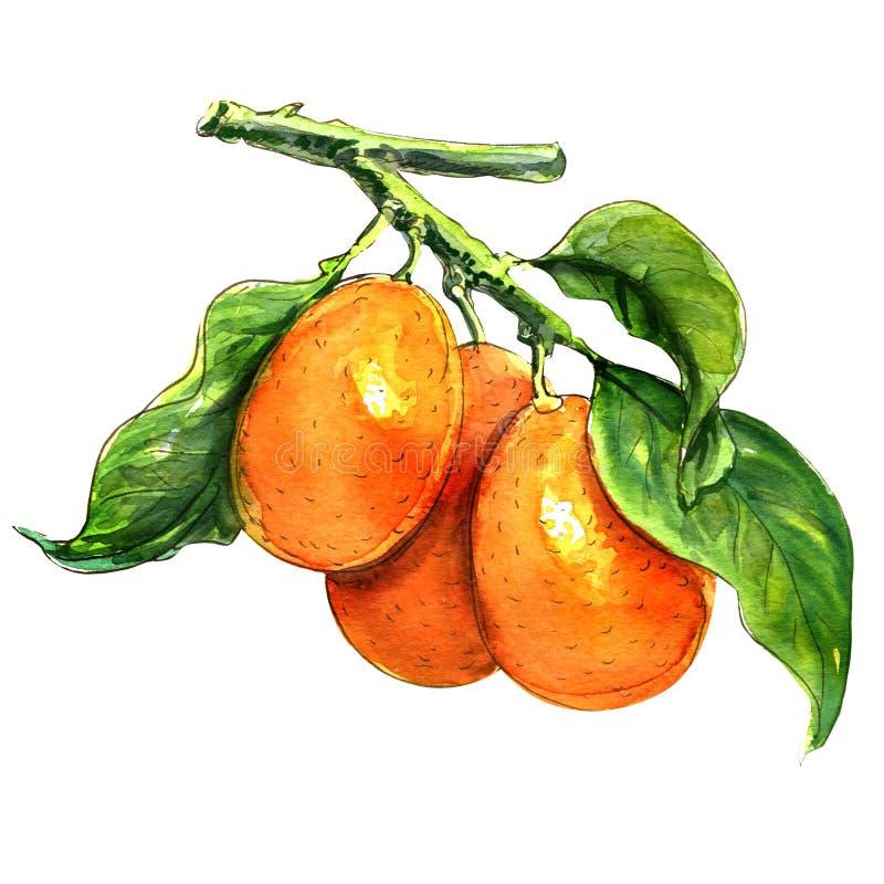 Sweet kumquat citrus fruits with leaf closeup on stock illustration