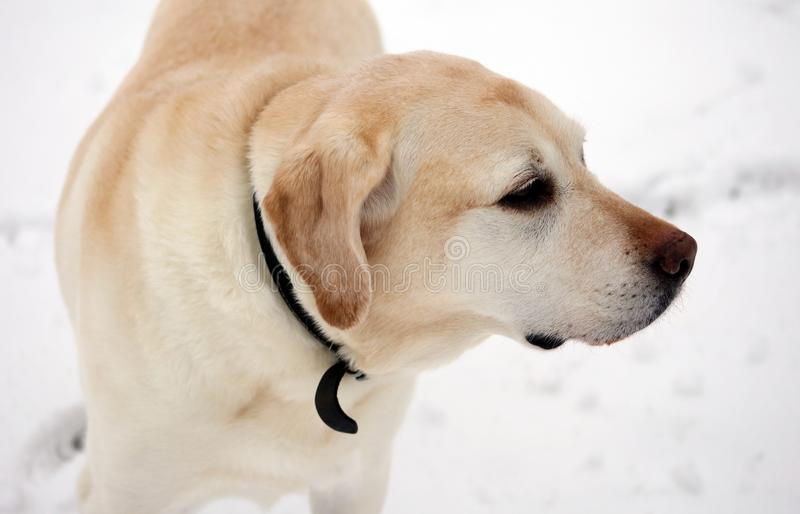 Sweet labrador retriever playing in snow, beautiful best dog royalty free stock photos