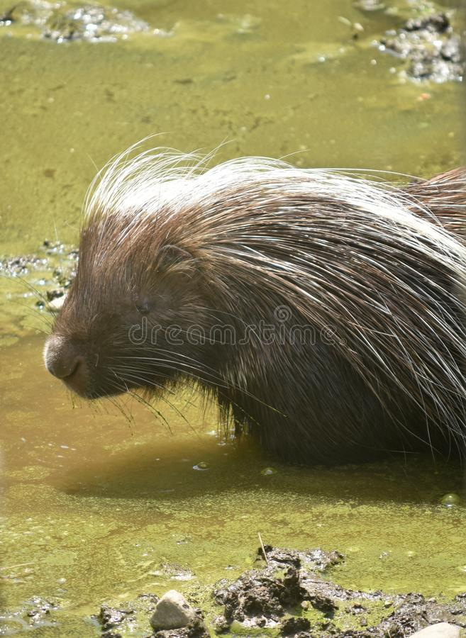 Sweet light brown porcupine standing in dirty water. Brown dirty water that a porcupine is standing in royalty free stock photos
