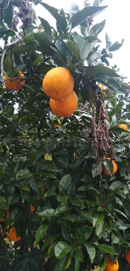 sweet limes tree full of Riped fruits royalty free stock photos