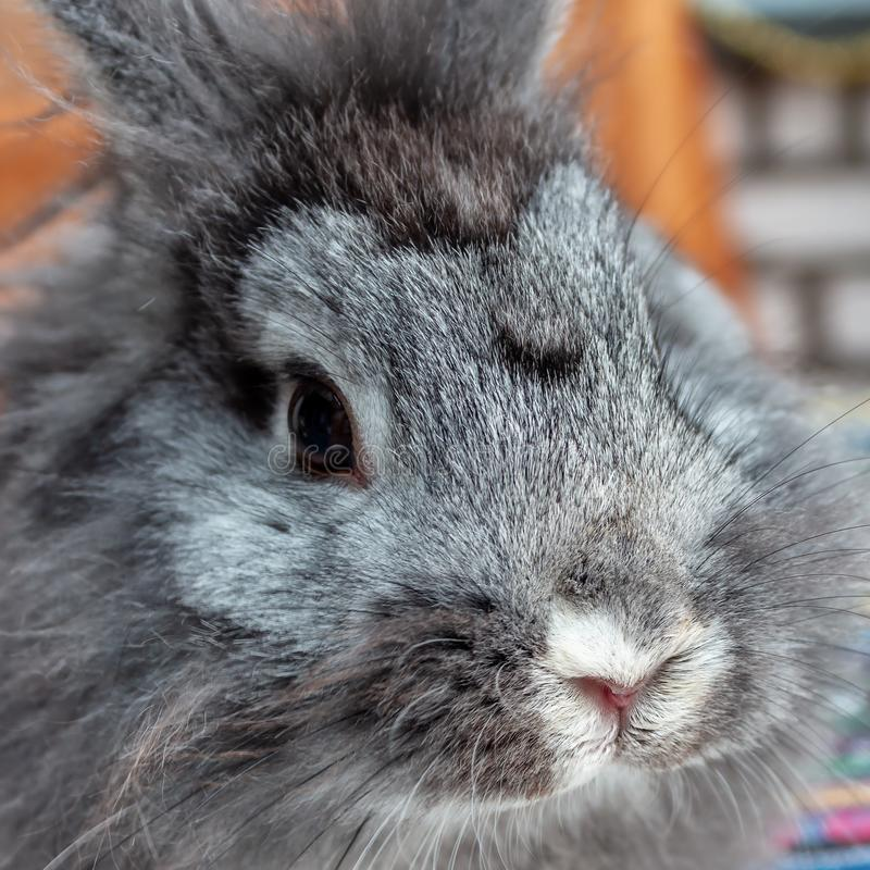 Sweet Lion head rabbit royalty free stock photo